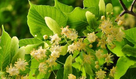 LIPA – doskonała jako roślina lecznicza.